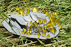 Group of Swallowtail ButterfliesTsavo East NP Kenya