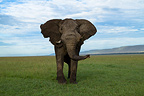 Male Elephant charging in the Masai Mara NR in Kenya (African elephant)
