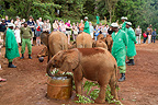 Mud and drink for the elephants Kenya (African elephant)