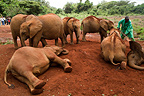 Mud bath for the elephants PN Nairobi Kenya (African elephant)