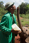 Baby Elephant fed by his trainer Kenya (African elephant)