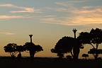 Masai giraffes at sunrise in the Masai Mara NR Kenya (Masai giraffe)