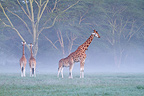 Rothschild's Giraffes in the mist at morning Nakuru NP Kenya (Rotschild's giraffe)