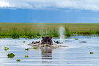 Breathe of an Hippopotamus in the Masai Mara NR Kenya (Hippopotamus)