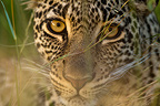Portrait of a Young Leopard in the Masai Mara NR Kenya (African leopard)