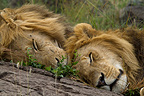 Lions sleeping in the Masai Mara NR Kenya� (African lion)