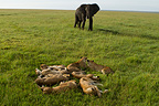 Elephant approaching a group of Lions resting Kenya� (African lion; Elephant)