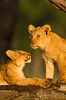 Two Lion Cubs perched on a tree Masai Mara Kenya RN (African lion)