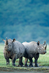 Two Black rhinoceros in the Nakuru PN Kenya (Black rhinoceros)
