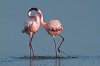 Parade of Lesser Flamingos in Lake Nakuru Kenya (Lesser Flamingo)