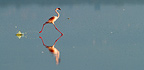 Lesser Flamingo running in the Nakuru lake Kenya (Lesser Flamingo)