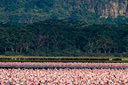 Colony of Lesser Flamingos and Buffalos Nakuru lake Kenya (Cape buffalo; Lesser Flamingo)