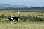 African ostrich in the Masai Mara NR in Kenya  (Ostrich)