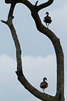 Egyptian Geese in the Masai Mara NR in Kenya� (Egyptian Goose)