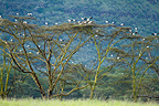 White Storks perched on Acacia Nakuru NP Kenya� (White Stork)