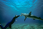 Shark expert Neal Watson fighting Lemon Shark Bahamas (Lemon shark )