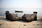 Cows at rest on the banks of the Ganges Varanasi India