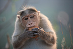 Rhesus Macaque eating Vijayanagara Hampi India  (Rhesus Macaque)