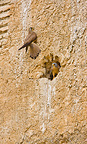 Lesser Kestrels at nest, Andalusia, Spain�