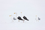 Herring and Great Black-backed Gull in the snow Scandinavia  (Herring Gull; Great Black-backed Gull)