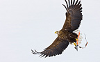 White-tailed eagle in flight holding a prey Scandinavia (White-tailed Eagle)