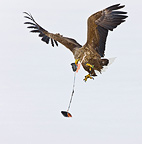 White-tailed Eagle flying away with a prey Scandinavia (White-tailed Eagle)