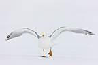 Gull wings flying over the snow Scandinavia (Herring Gull)