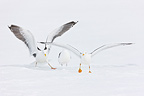Herring and Great Black-backed Gull in the snow Scandinavia� (Herring Gull; Great Black-backed Gull)
