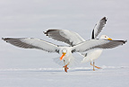 Herring gulls fighting over food in the snow Scandinavia (Herring Gull)