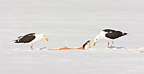 Great Black-backed Gulls eating in the snow Scandinavia  (Great Black-backed Gull)