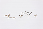 Herring Gulls in the snow Scandinavia (Herring Gull)