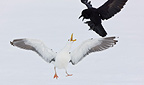 Fight Herring Gull and Raven in flight Scandinavia (Herring Gull; Raven)