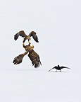 Fight of White-tailed Eagle in flight Scandinavia  (White-tailed Eagle)