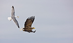 White-tailed eagle and herring gull in flight�Scandinavia (White-tailed Eagle)