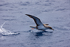 Cory's Shearwater flying off the surface of the water Azores (Cory's Shearwater)