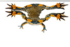 Yellow-bellied Toad and its reflection on white background�