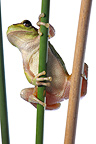 Tree Frog on a Sedge on white background (Tree frog)