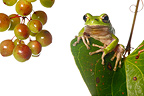 Sardinian tree frog on leaf and berry Sarsaparilla (Tree frog)