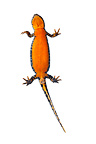 Alpine newt ventral female on white background�