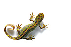 Marbled Newt male swimming on white�background