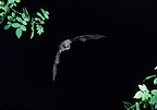 Schreiber's Long-Fingered Bat flying Spain (Bent-winged Bat)