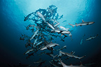 Whitetip Reef Sharks following scent trail in water column (Whitetip reef shark)