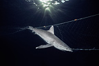 Dead Whitetip Reef Shark hanging in commercial fishing net (Whitetip reef shark)