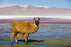 Llama at Laguna Colorada on the Altiplano Bolivia (Llama)