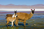 Llamas at Laguna Colorada on the Altiplano Bolivia (Llama)