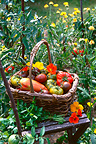 Harvest of tomatoes in a flowered kitchen garden