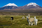 Llamas on meadow at Altiplano Bolivia (Llama)