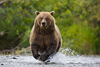 Bear trying to catch salmon in creek during salmon run (Brown bear)