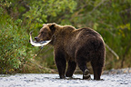 Brown bear holding freshly caught salmon in mouth Alaska (Brown bear)