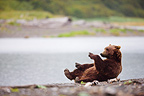 Brown bear rolling on its back on gravel bar to rest Alaska (Brown bear)